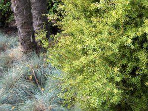 podocarpus_totara_aurea