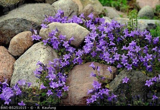 campanula in rock garden - Dalmation Bellflower