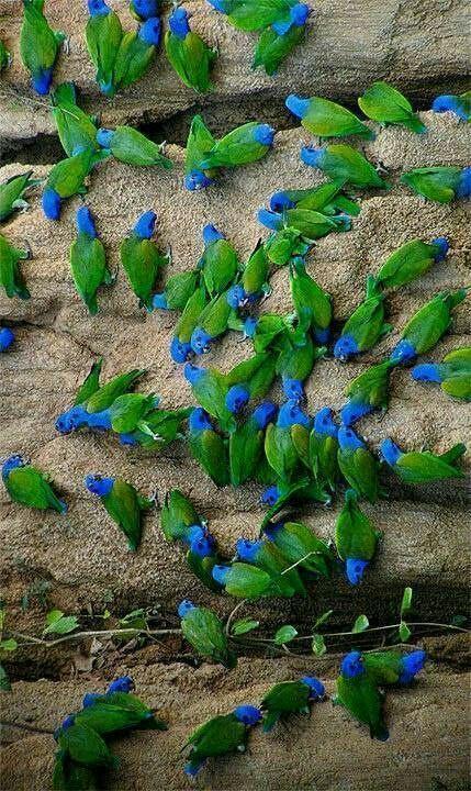 Blue Headed Parrots aka Blue-headed Pionus (Pionus menstruus) is a medium large parrot. Don't they look glorious in the wild?