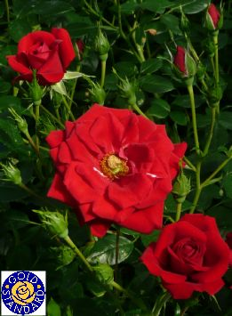 how to grow great roses from start to finish