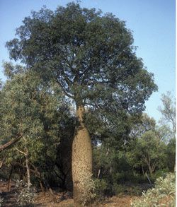 """Brachychiton rupestris"" Queensland bottle tree."