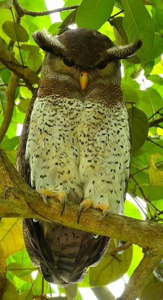 What are you looking at?? Barred Eagle Owl, Asia!