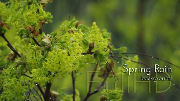 Close up Young Maple Leaves in Spring Rain Forest video footage by cinema4design on videohive.