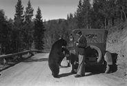 Man feeding bear beside car, 1927, (V469/1549, George Noble fonds), WMCR