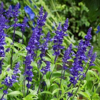 Sauge bleue : barquette de 10 plants