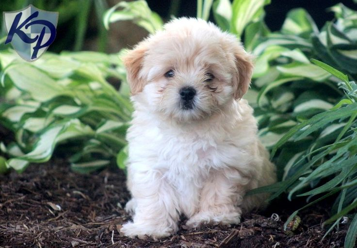 Andy – Havanese Puppies for Sale in PA | Keystone Puppies