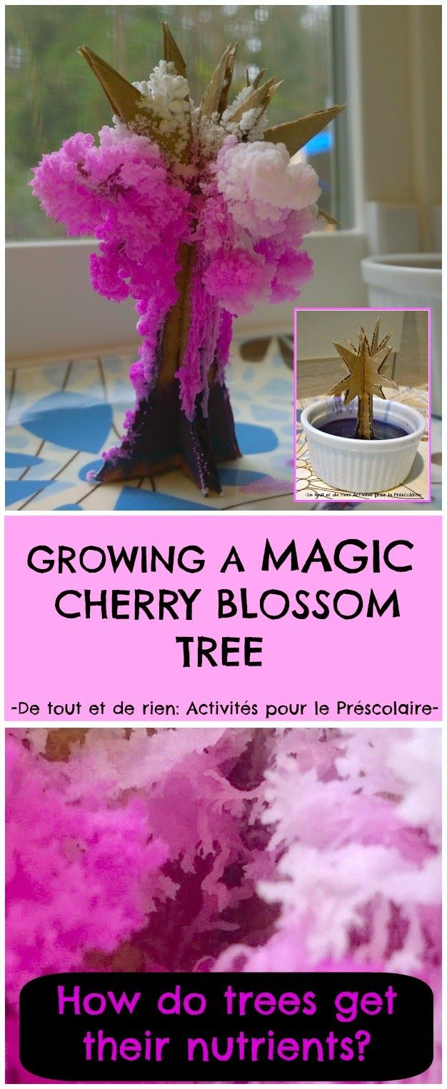 Growing a magic crystal cherry blossom tree. Simple experiment to learn how trees get their nutrients from the soil.