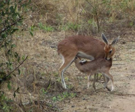 This amazing sighting of a Steenbok feeding her newborn was captured in the Kruger earlier today by Thea Bethel