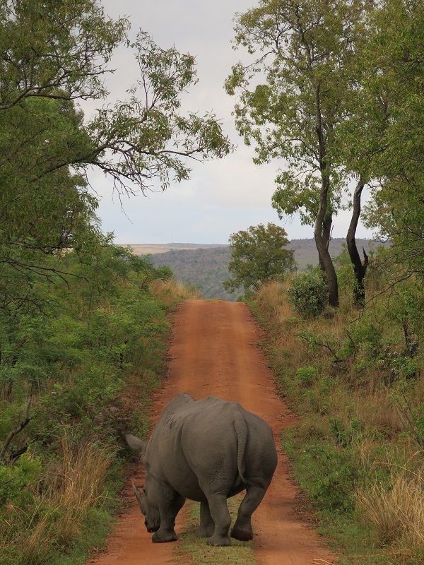Track a rhino on foot & observe them in their natural habitat with a ranger by your side, Read more about this unique experience: www.mhondoro.com/experiences/rhino-tracking.
