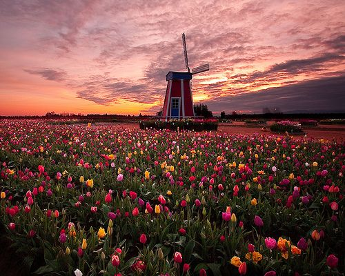 Sunrise Tulip Field, Woodburn, Oregon  photo via ven   one day I hope to walk in these fields.