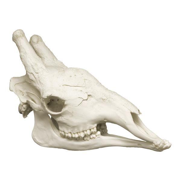 Replica Giraffe Skull Animal Bones Giraffe Anatomy Sketches