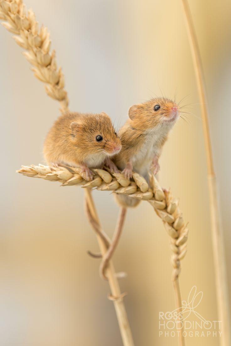 Harvest Mice, Devon, UK Ross Hoddinott