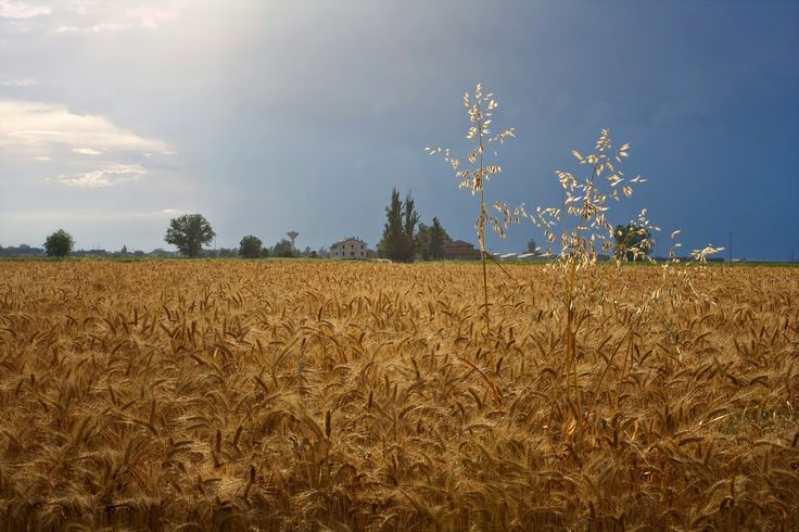 Campo di grano #italia#landscape