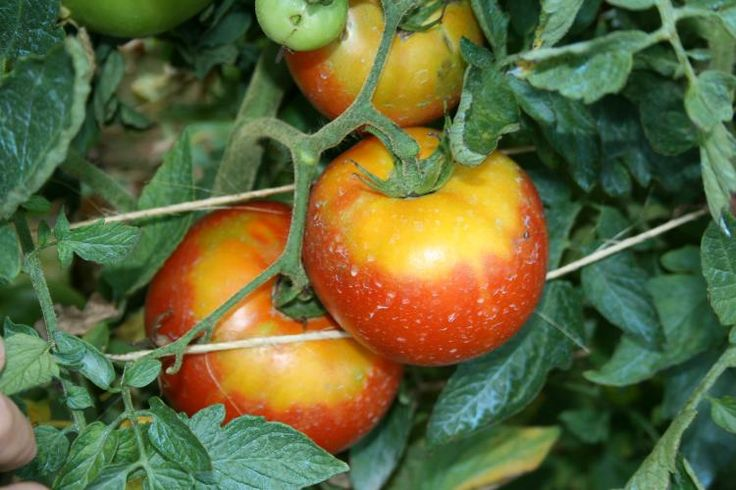 Controlling Yellow Shoulders On Tomatoes: Information About Yellow Green Tomato Shoulders