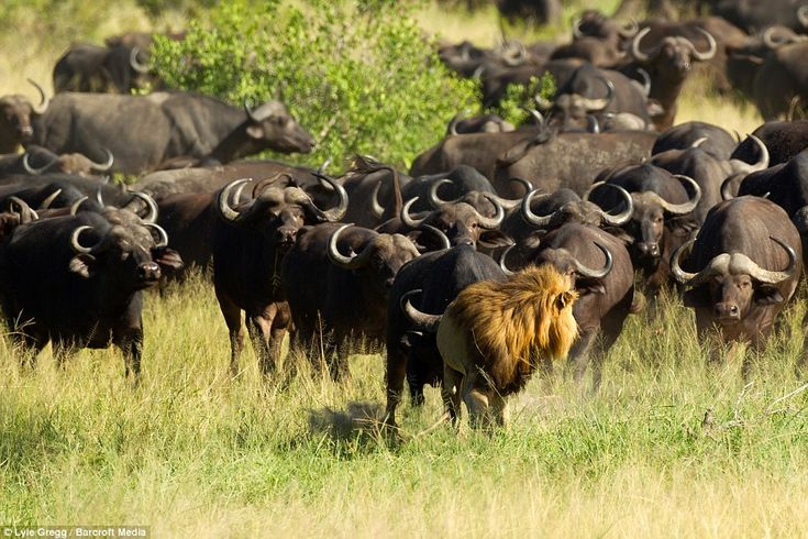 But after a change in wind direction, the buffalo pick up on the lion's scent and begin to...