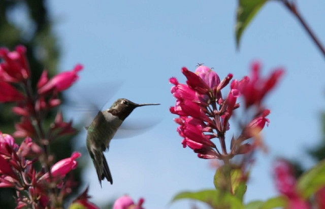 Salvia and  hummingbird by Marta_9, via Flickr