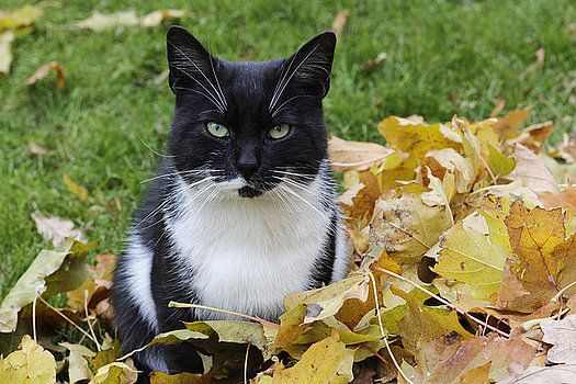 Black cat with a white chest among yellow autumn leaves by George Westermak#George Westermak#FineArtPrints#Pets#cat