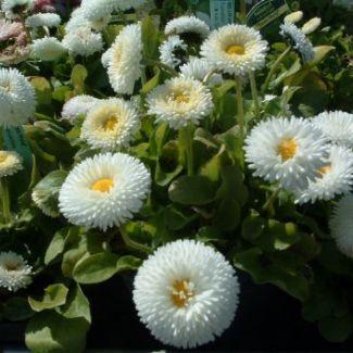 BELLIS perennis 'Planet White' -  Tusindfryd, farve: hvid, lysforhold: sol, højde: 12 cm, blomstring: marts - juli.
