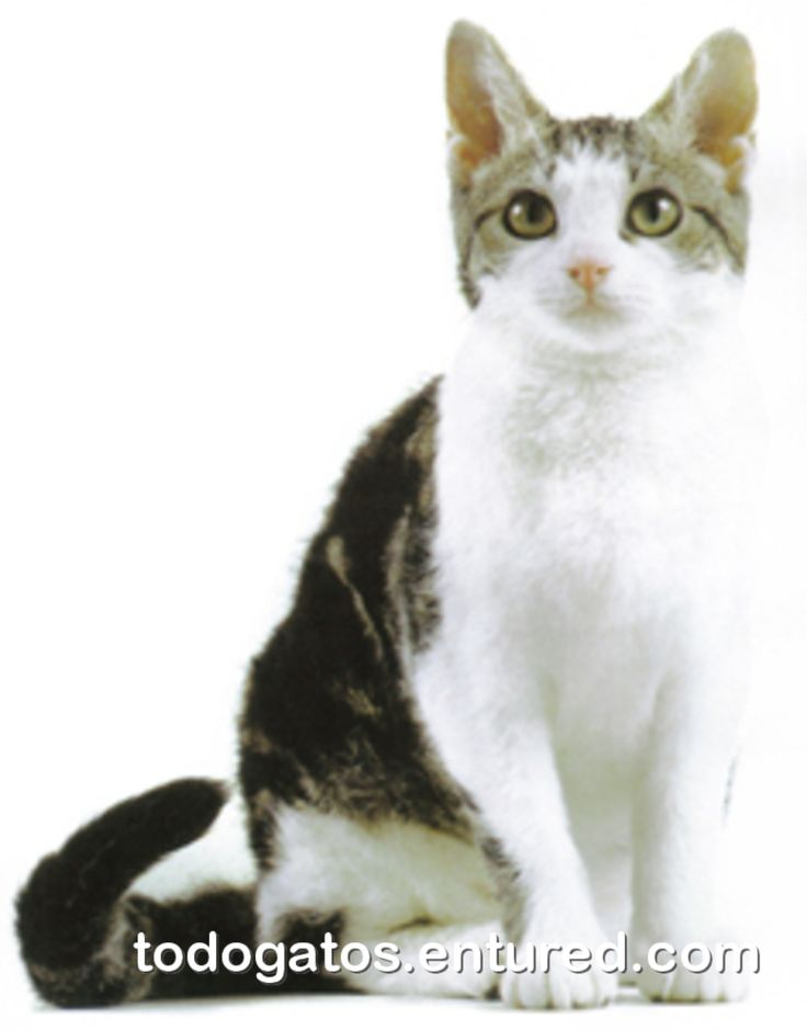 23 best CAT_American wirehair images on Pinterest | American ...