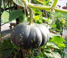 Huertas caseras: el cultivo de la calabaza | Huerta | Flor de Planta