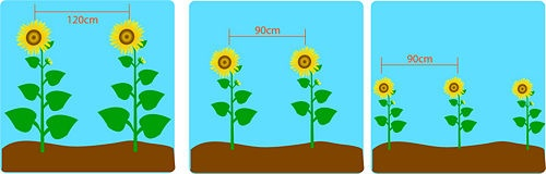 5 Ways to Plant Sunflower Seeds - wikiHow