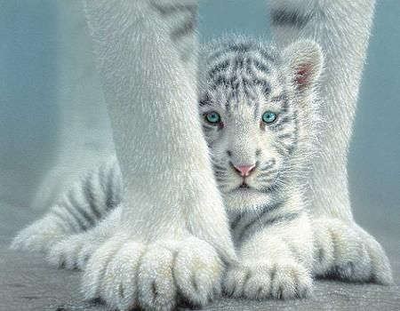 sheltered babies  White Tigers