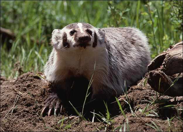Google Image Result for http://animal.discovery.com/mammals/badger/pictures/badger-picture.jpg