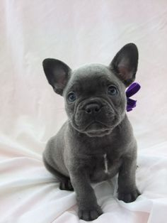 Blue | Mandanna Dogs blue French bulldog puppy I MUST have this #frenchie OMG too cute #FOJ #frenchbulldog