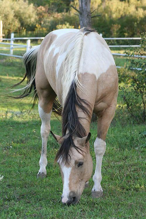 I have a horse named Abbye she is a P.O.A pony of america and she is a buttermilk buckskin