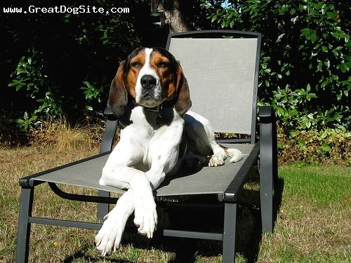 Google Image Result for http://cdn.greatdogsite.com/watermark/Treeing%20Walker%20Coonhound-9%20months-Tri%20Color-1184053558.jpg