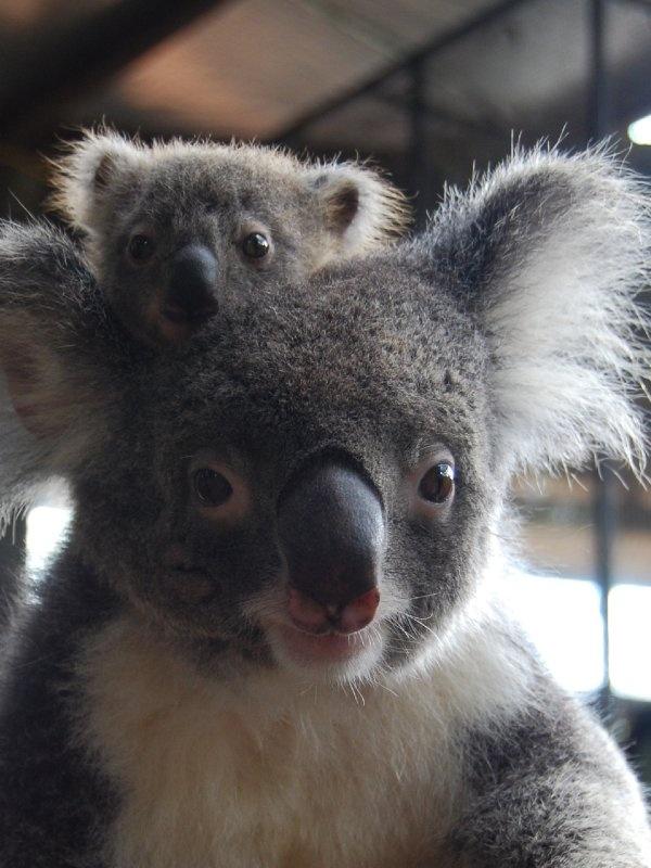 25 b sta id erna om baby koala p pinterest koalas - Pics of baby koalas ...