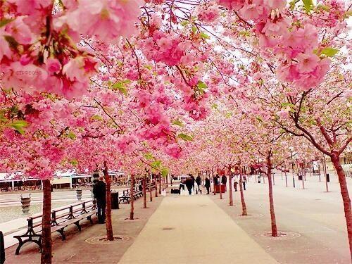"""Earth Pics: Cherry Blossom Walk, Sakura, Japan """