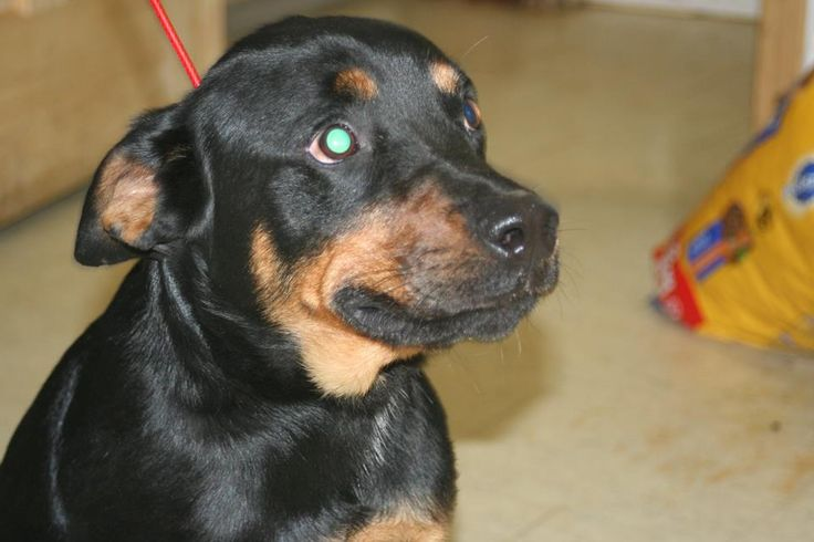 LUKE - Ref #2939 -Rottweiler Mix  Ross County Humane Society  Chillicothe, Ohio ~ RS~  For more information on this adoptable pet, please contact the shelter directly. Ref #:2939  Birth Date:4/15/2014 - 2 years old!  Gender: Male  Luke is ready for adoption. He is UTD on all of his vaccines, microchipped, heartworm NEGATIVE. His adoption fee is $129 and includes his neuter, dog tags, adoption kit to Pet Valu and a $50 g/c donated by Petland.