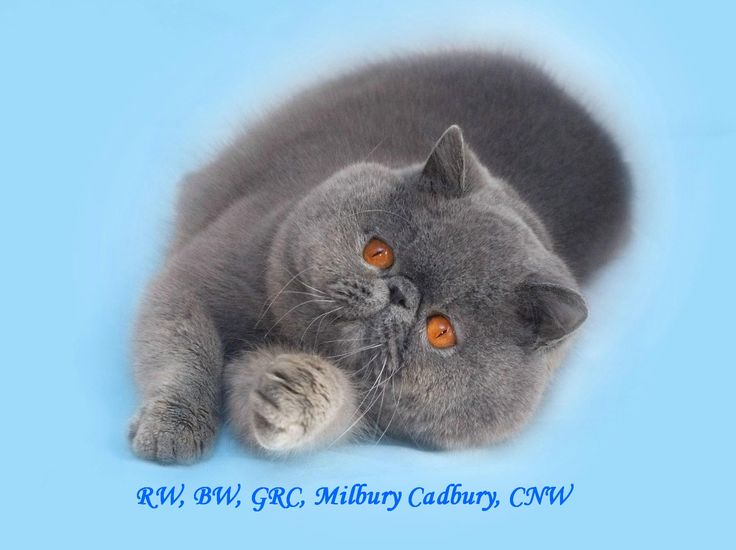 exotic shorthair kittens for sale | to milbury cattery breeding exotic shorthairs longhairs