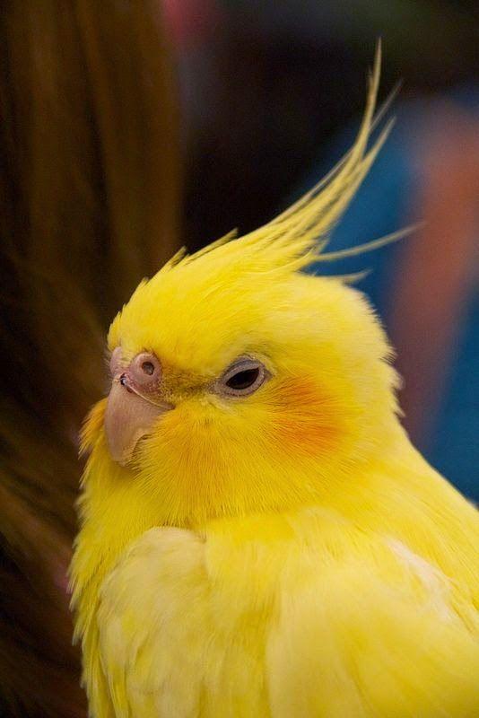 cockatiel saying pretty bird