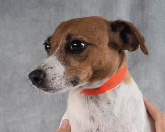 Petango.com – Meet Cupcake, a 6 years 4 months Terrier, Jack Russell available for adoption in COLORADO SPRINGS, CO