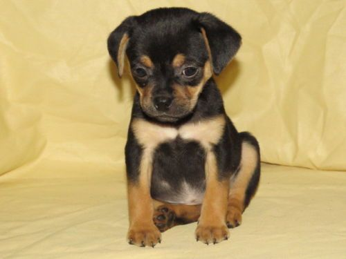 [Dogs] Breed: Rottiebear, Age: Baby, Miniature Rottweiler Puppies - Philadelphia | Dogs