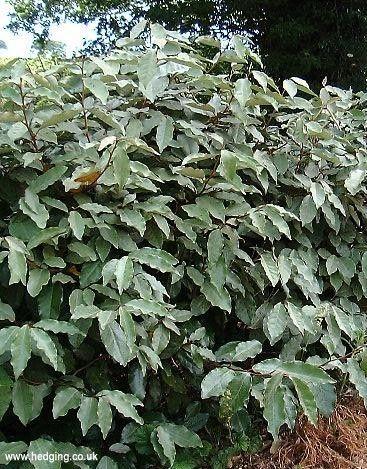 ELAEAGNUS EBBINGEI Smells good in Autumn