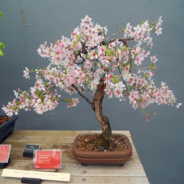 10 Pcs Multi Color Cherry Blossoms Bonsai Japanese Bonsai Sakura Diy Home Garden Blossoms Beautiful Pere Bonsai Flower Cherry Blossom Bonsai Tree Bonsai Plants