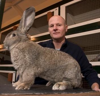 vlaamse reus konijnen   op 1 na grootste konijnen ras ter wereld