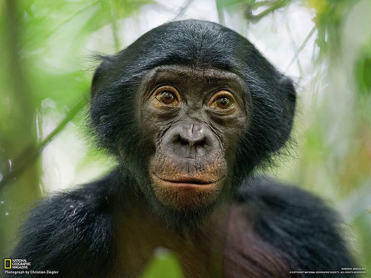 Bonobo : our brother