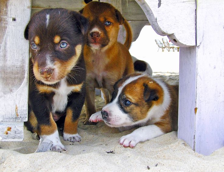 The most critical period for puppy development is the age six to eight weeks (everything that happens prior to this is to do with setting the foundations of the