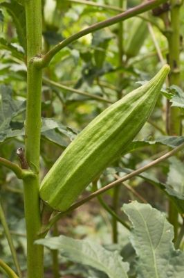 Okra Plant, How to Grow Okra, Planting Guide
