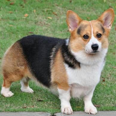 Welsh tricolour corgi