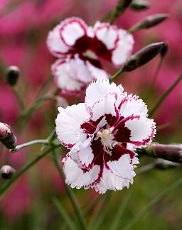 Some day I'll have a garden ... Dianthus 'Lady Granville' | From Annie's Annuals & Perennials