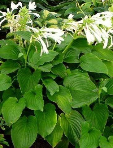 Hosta - Liliaceae - Come curare e coltivare le piante di Hosta