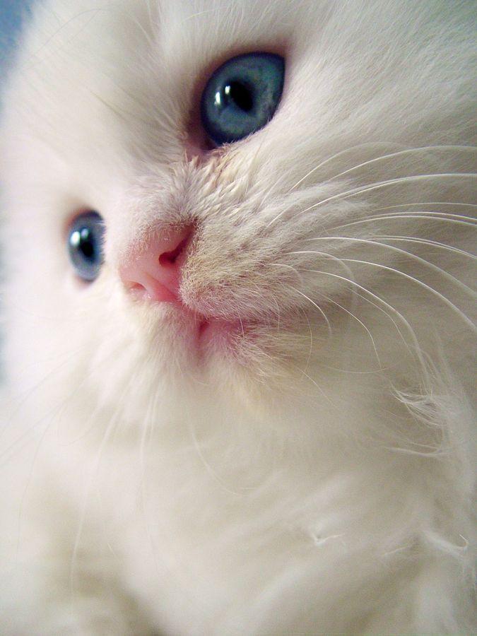 "500px / Photo ""The Cotton Cat"" by Jose Antonio Montoya"
