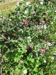 Grow Your Own Fruit - Saskatoon Berries : countrylivinginacariboovalley