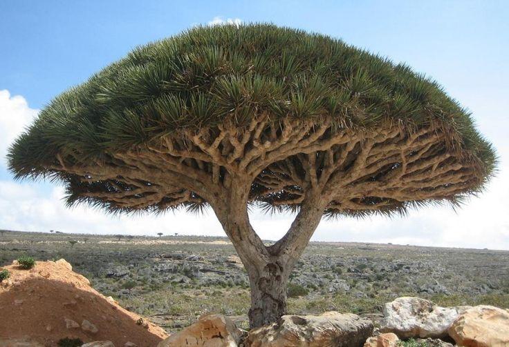 Árvore do dragão, também em Socotra