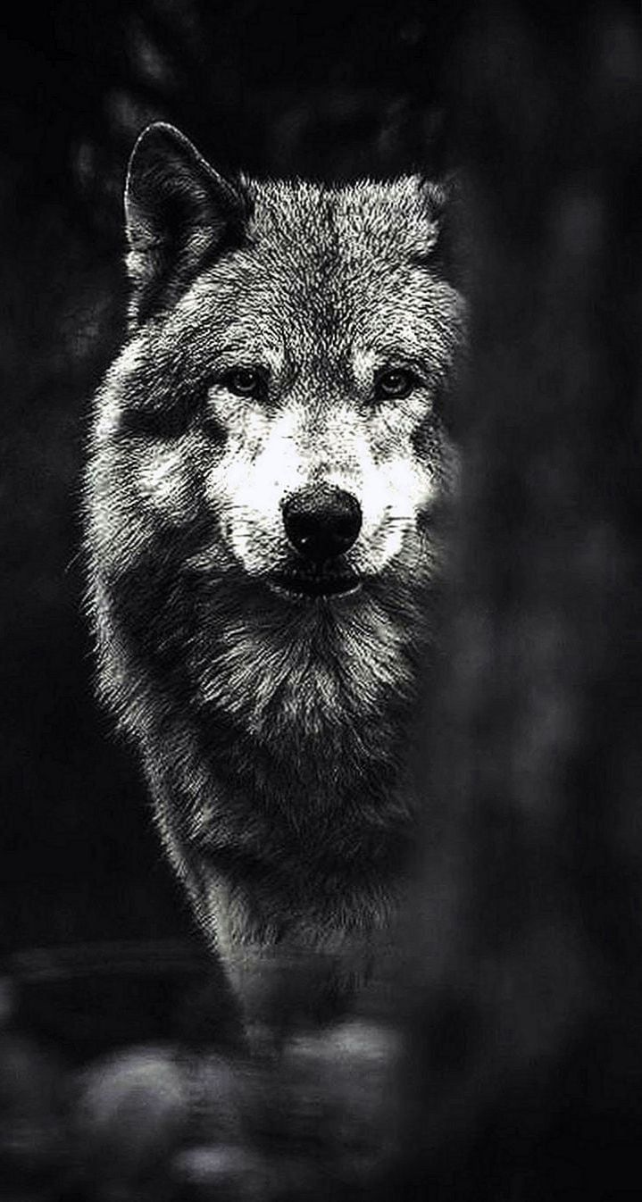 Black Wolf Hd Iphone Wallpapers Wolf Wallpaper Iphone Wallpaper Wolf Black Wolf